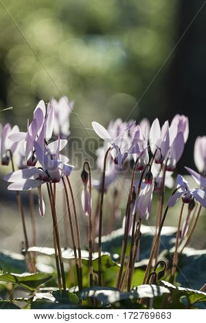 White and purple cyclamen flowerbed with sunrise green bokeh outdoors vertical