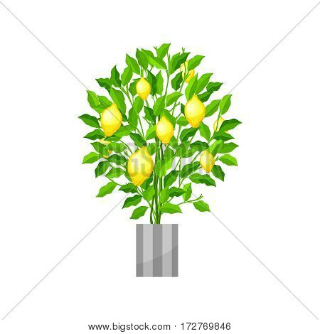 Lemon tree. Deciduous plant in flowerpot. House plant realistic icon for interior decoration .Green plant in flowerpot. Vector illustration isolated on white background