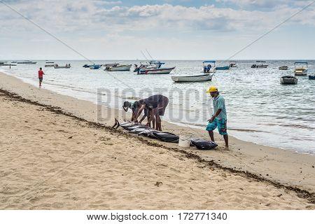 Tamarin Mauritius - December 10 2015: Fishermen handles freshly big tuna fish on the beach of Tamarin Bay in Mauritius.