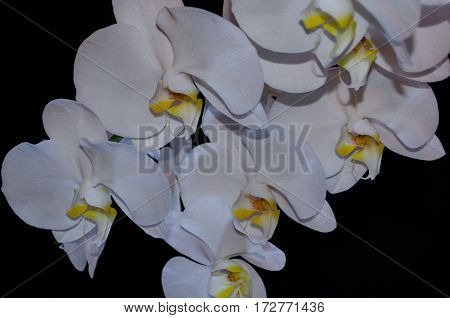 Blossoming beautifully branch of white phalaenopsis orchid flower with yellow center isolated on a black background close-up macro of an unusual perspective
