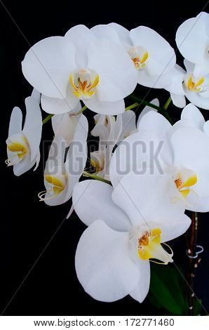 Blossoming beautifully branch of white phalaenopsis orchid flower with yellow center isolated on a black background close-up macro