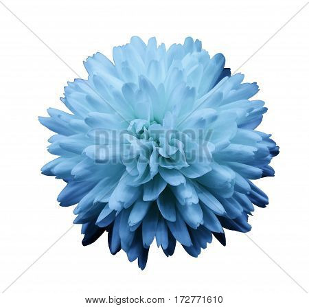 Blue flower chrysanthemum. garden flower. white isolated background with clipping path. Closeup. no shadows. Nature.