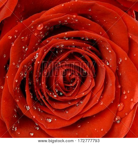Red rose full blown in beautiful drops close up macro