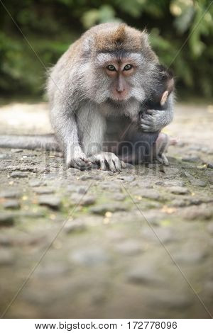 protective mother protects her baby in Monkey Forest, Ubud, Bali, Indonesia