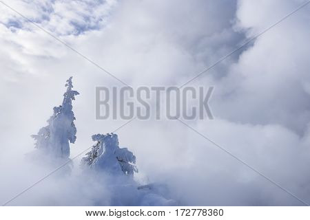 Pine Trees with Snow Fog and Clouds in Winter