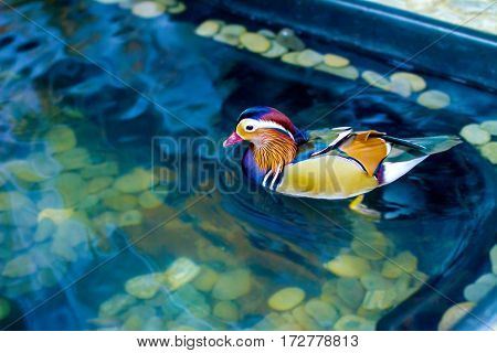 image male mandarin duck swimming in a pond