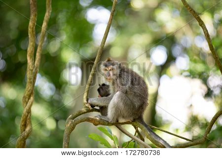Female Long Tailed Macaque, Macaca fascicularis, holding her tiny baby. Sacred Monkey Forest, Ubud, Bali, Indonesia