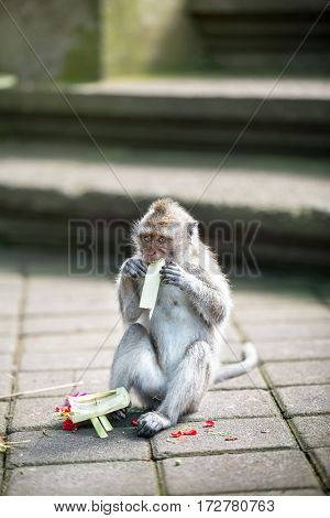 Monkey eating traditional Balinese offerings to gods