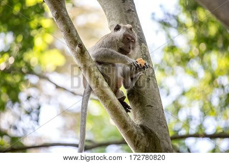 Long-tailed monkey on tree sitting on a branch and eating in the rainy forest