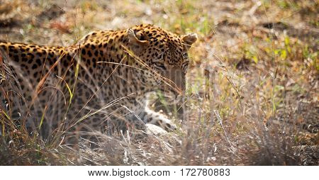 In South Africa Kruger Natural Park Wild Leopard