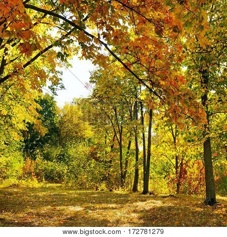 A autumn forest and fallen yellow leaves