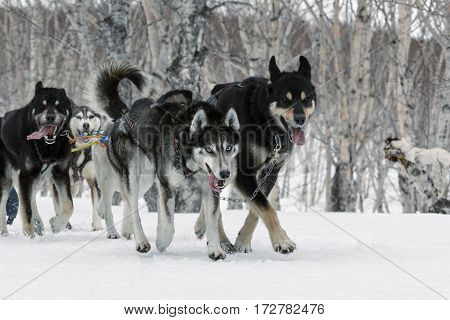 PETROPAVLOVSK KAMCHATKA RUSSIA - April 13 2014: Kamchatka Regional Competitions Sled Dog Race: running dog sled team Alaskan husky (dogs age 18 months and older) musher Anastasiya Semashkina.