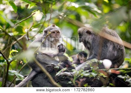 Monkey family,  Sacred macaques monkeys, Ubud,Bali,Indonesia