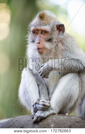 Sitting macaque monkey,Ubud,Bali,Indonesia