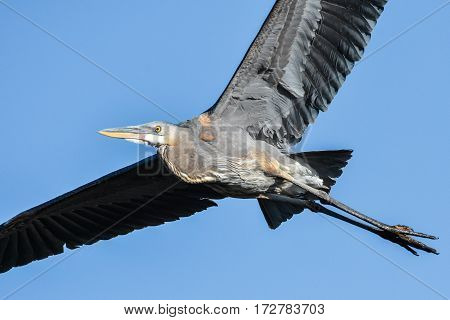 Great Blue Heron gliding through the air with ease.