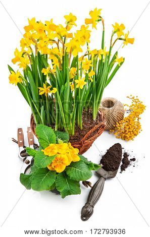 Bunch spring blossom yellow narcissus in wicker basket from mimosa and bush primula. Isolated on white background