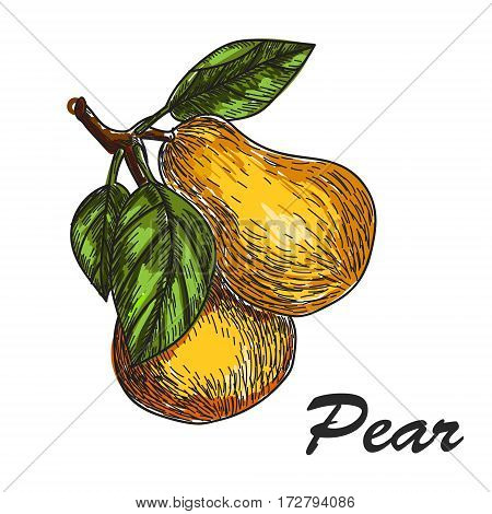 vector hand made sketch illustration of engraving pear on a branch on white background