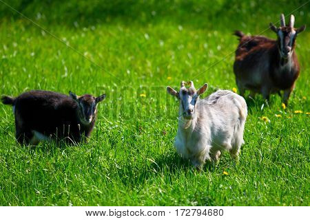 Goats in the meadow.Domestic animals in agriculture to pasture in the summer.