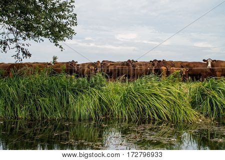 Cow cattle grazing on the green riverside