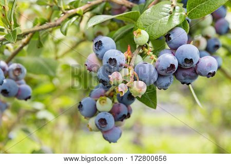 closeup of northblue blueberry plant with ripe berries