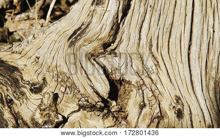 wooden background root of a tree with deep texture selective focus