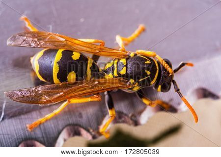 Wasp On A Blade