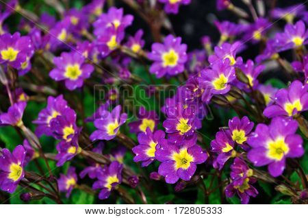 Spring flowers - Primula juliae also known as Julias primrose or purple primrose spring flowers. Closeup of spring flowers in the forest, spring flowers landscape view.