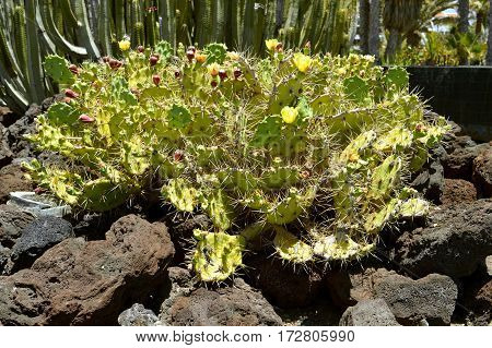 Prickly pear cactus Latin name Opuntia ficus-indica