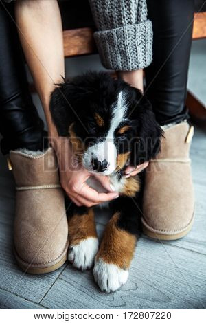 little puppy of bernese mountain dog on hands of fashionable girl with a nice manicure. animals fashion
