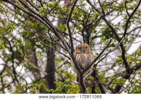Austral pygmy owl (Glaucidium nana) in argentine patagonia, near Ushuaia