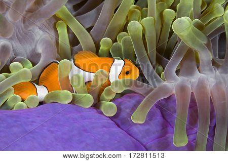 Colorful Clownfish