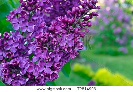 Flower background - lilac flowers in spring blossom. Spring flower background with spring blooming lilac flowers. Closeup view of lilac flowers in blossom, flower background