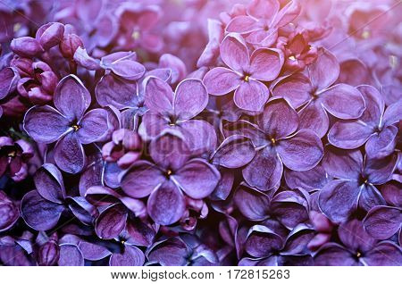 Spring background of spring  lilac flowers in spring blossom - colorful spring background. Lilac flowers in the spring garden - spring background