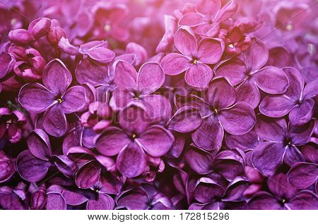 Spring background. Spring flowers of blooming lilac - floral spring background. Closeup of lilac flowers - spring nature background of spring flowers in blossom