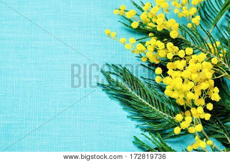 Spring background. Mimosa spring flowers on the turquoise linen background - spring still life with spring mimosa flowers