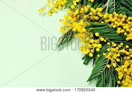 Spring background. Spring flowers of mimosa on the light green wooden background. Free space for spring holiday celebration text. Focus at the spring mimosa flowers