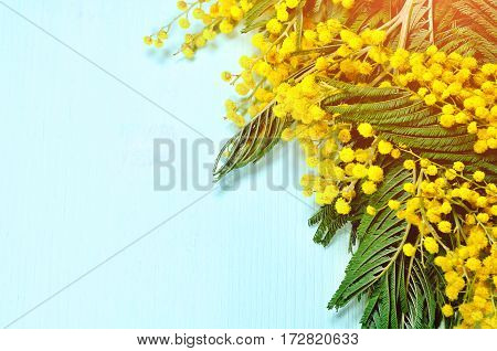 Mimosa flowers. Spring background with mimosa flowers - mimosa flowers on the light blue wooden surface. Yellow fluffy flowers of mimosa ot the wooden surface. Closeup of mimosa flowers