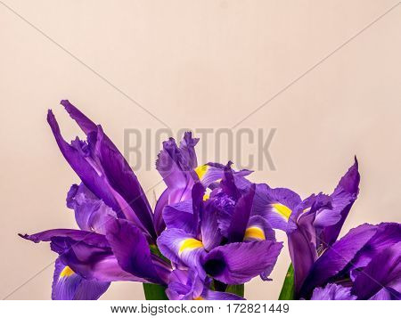 Bunch of iris on plain white background