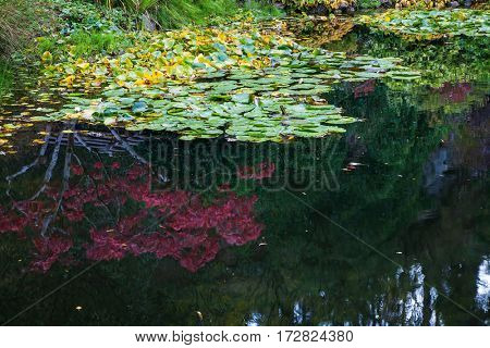 In pond, overgrown with lilies, reflected trees and flowers.