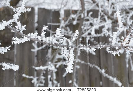 The branches are covered with a thick layer of frost.