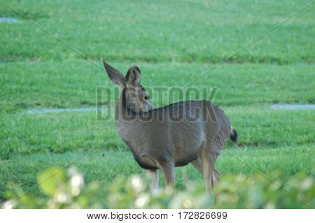 Mule deer wandering the hills of a local southern California cemetery just after sunrise