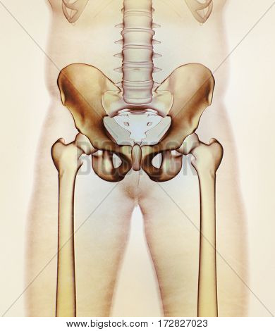 Ilium bone, hip bone or pelvis. Human anatomy, bone skeletal strucure xray. 3D illustration.