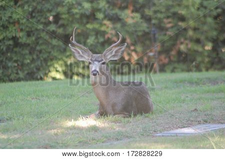 Male mule deer with large antlers lounging under a tree