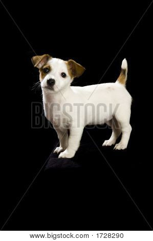 .Jack Russell Standing