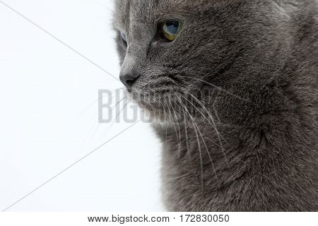 studio portrait of a beautiful grey cat on white background