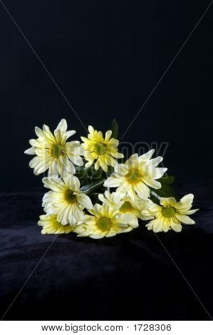 Yellow .Chrysanthemums On Black Background