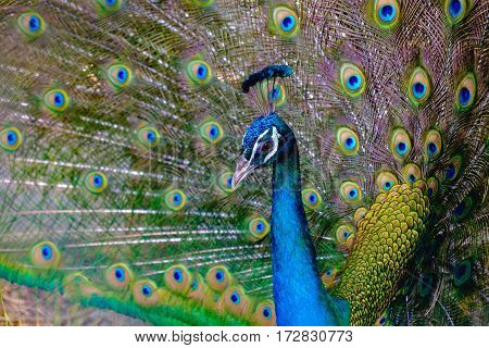 Close up of male peacock showing beautiful expanded feather