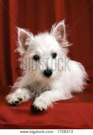 .West Highland Terrier