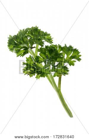parsley herb isolated on a white background