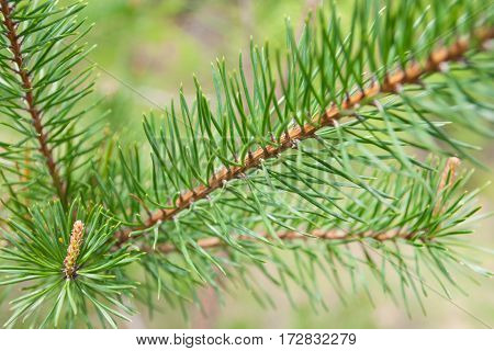 Spring in nature. Bright green needles of a fir-tree.